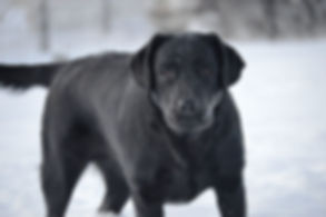 Russford Labradors - Riley