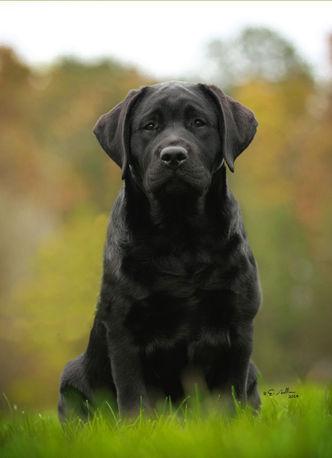 Russford Labradors - Laney
