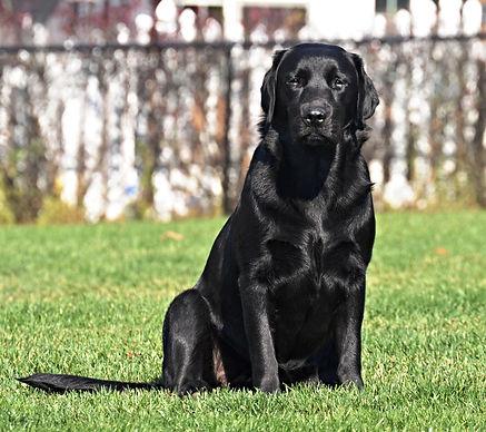 Russford Labradors - Riley