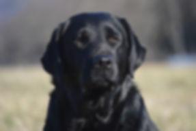 Russford Labradors