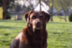 Russford Labradors - Bella