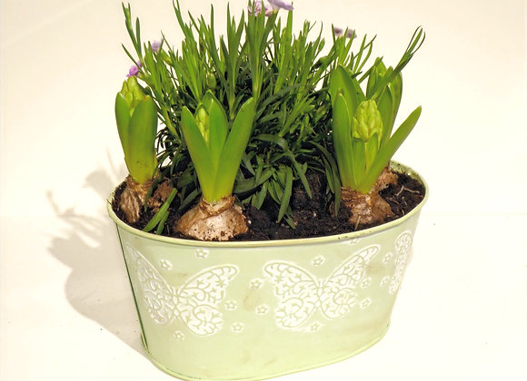 Butterfly Kiss - pastel green Plant