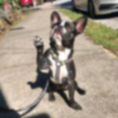 Cute dog walking. Dog raising paw. Atlanta.