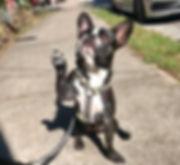 Dog walking. dog raising paw. atlanta dog