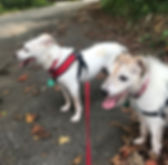 two dogs walking. dogs panting. pack walks.