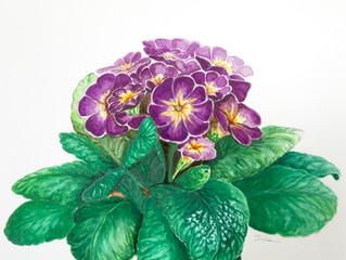水彩で春を描く。〜プリムラ〜 Primula