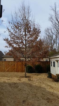 Tree after Bracing