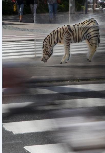 zebra11