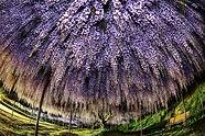 薫香の藤棚.jpg