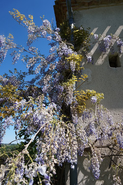Wisteria in the Summer
