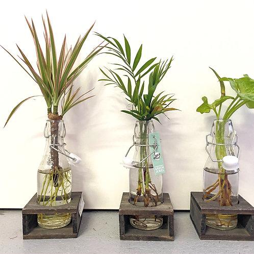 Green jewel lofe -Planten