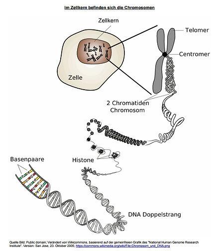 Chromosomen-DNS.jpg