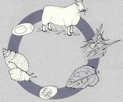 Leberegel-Zyklus.jpg