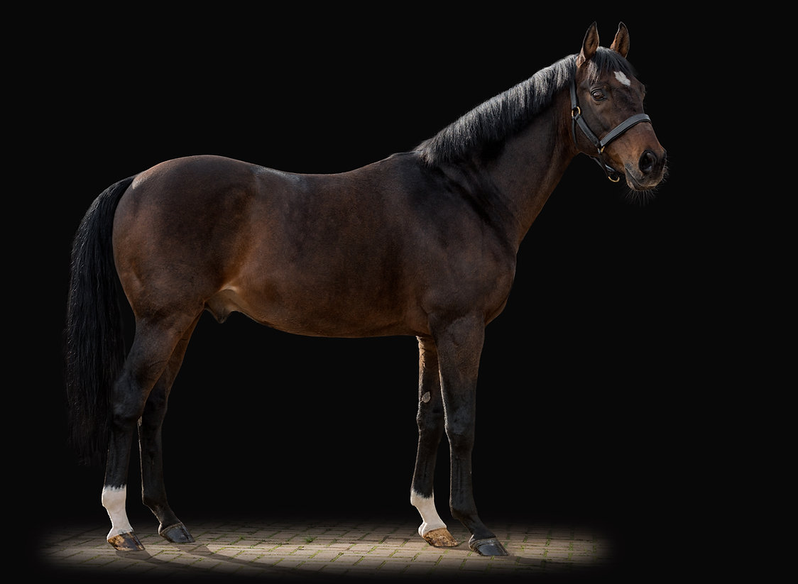 Tajraasi Thoroughbred Sporthorse Stallion Breeding Eventing
