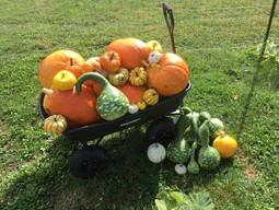 Pumpkin and Gourd Harvest 2018