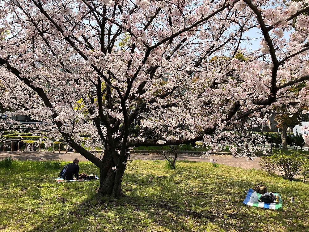 東大阪市のとある公園の桜