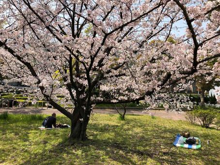 東大阪市の桜満開でキレイです