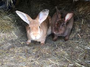Farm Bunnies
