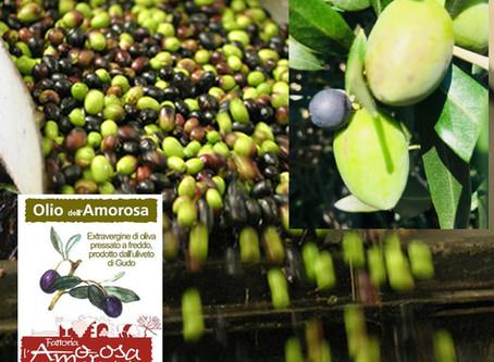 L'ulivo produce tante preziose drupe… nasce così un fine olio d'oliva ticinese!