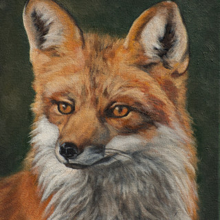 Inquisitive Red Fox