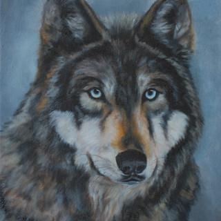 Alpha,  Grey Wolf