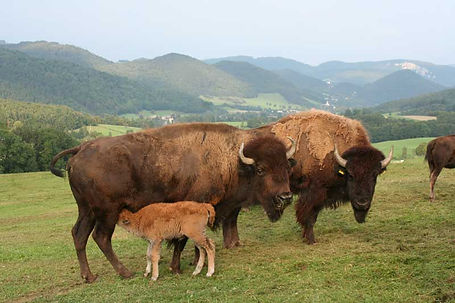 bisons edibichl.jpg
