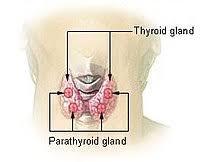 Ostéoporose, avez-vous pensé à votre thyroïde et ses satellites ?