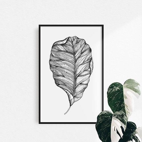Pint Ficus Lyrata