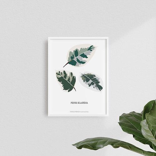 Print Ficus Elástica II