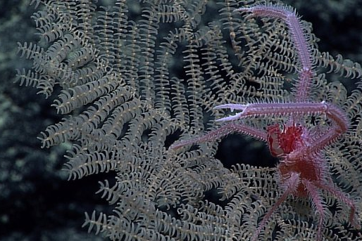 Deep-Sea Mining Seabed; home to many new Coral Species