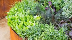 vegetable-garden-ideas-salad-bed-1014-m.