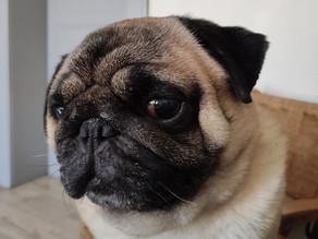 Bogart the Pug Series #1 | Dog Love