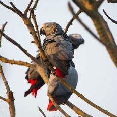 1209 African Gray Parrots--Ngamba Island Release--Uganda