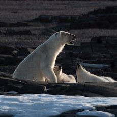 1914 Polar-Bear--Mother-and-Two-Cubs--Ice-Pack--Svalbard