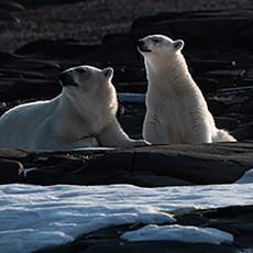 1911 Polar Bear--Mother and Cub--Ice Pack--Svalbard
