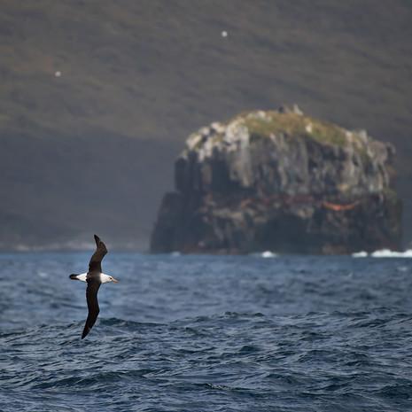 510 Campbell Albatross--Campbell Island--New Zealand