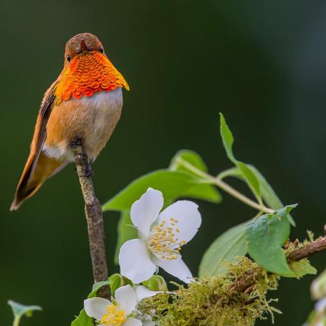 1511 Rufuous Hummingbird--Male--Honeysuckle--Garden