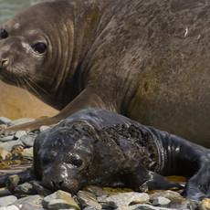 611 Elephant Seal--Mother and Just-Born--South Georgia Island
