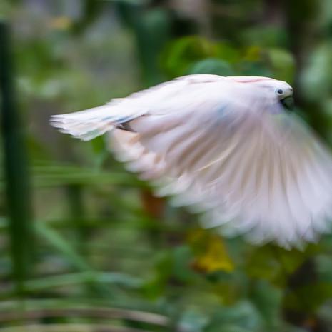 1240 Moluccan Cockatoo--Seram Island--Indonesia