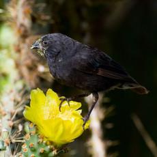 1008 Cactus Finch—One of Darwin's Finches---Santa Cruz Island