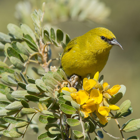 1816 Amikihi Puu--Laau--Endemic--Big Island