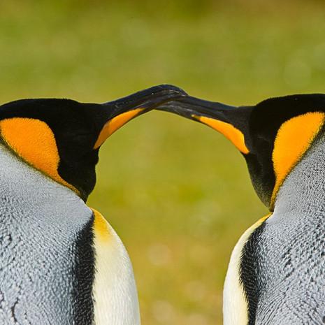 116 King Penguins--Courtship--Falklands