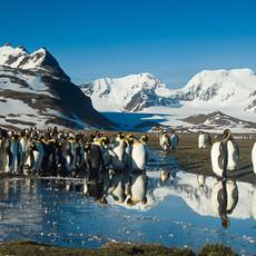 110 King Penguin--St. Andrew's Morning
