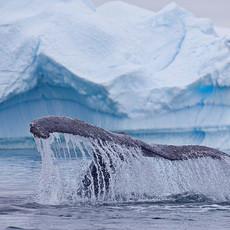 603 Humpback Whale--Ice Garden--Penola