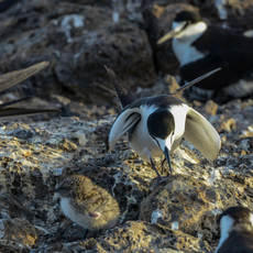 527 Sooty Tern--Chick--Ascension Island