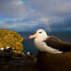 513 Black-browed Albatross--Rainbow--Falkland Islands