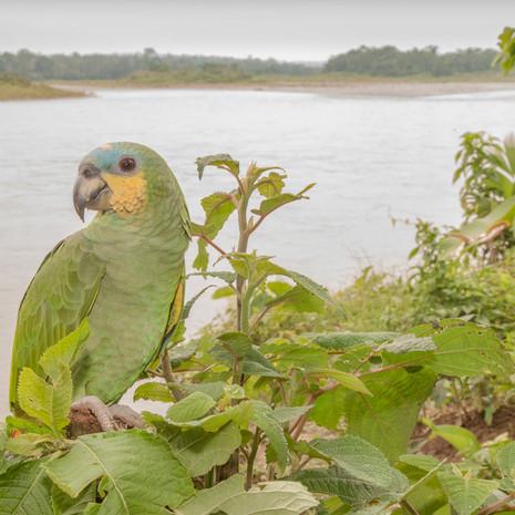 1238 Orange-winged Amazon--Napo River--Ecuador