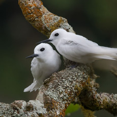 531 Fairy Tern--Nesting Pair--Ascension Island