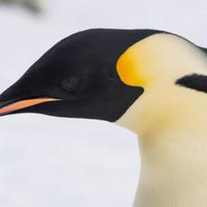 109 Emperor Penguins--Head Shot--Snow Hill--New Zealand