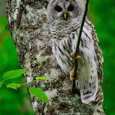 1401 Barred Owl--Bainbridge Island